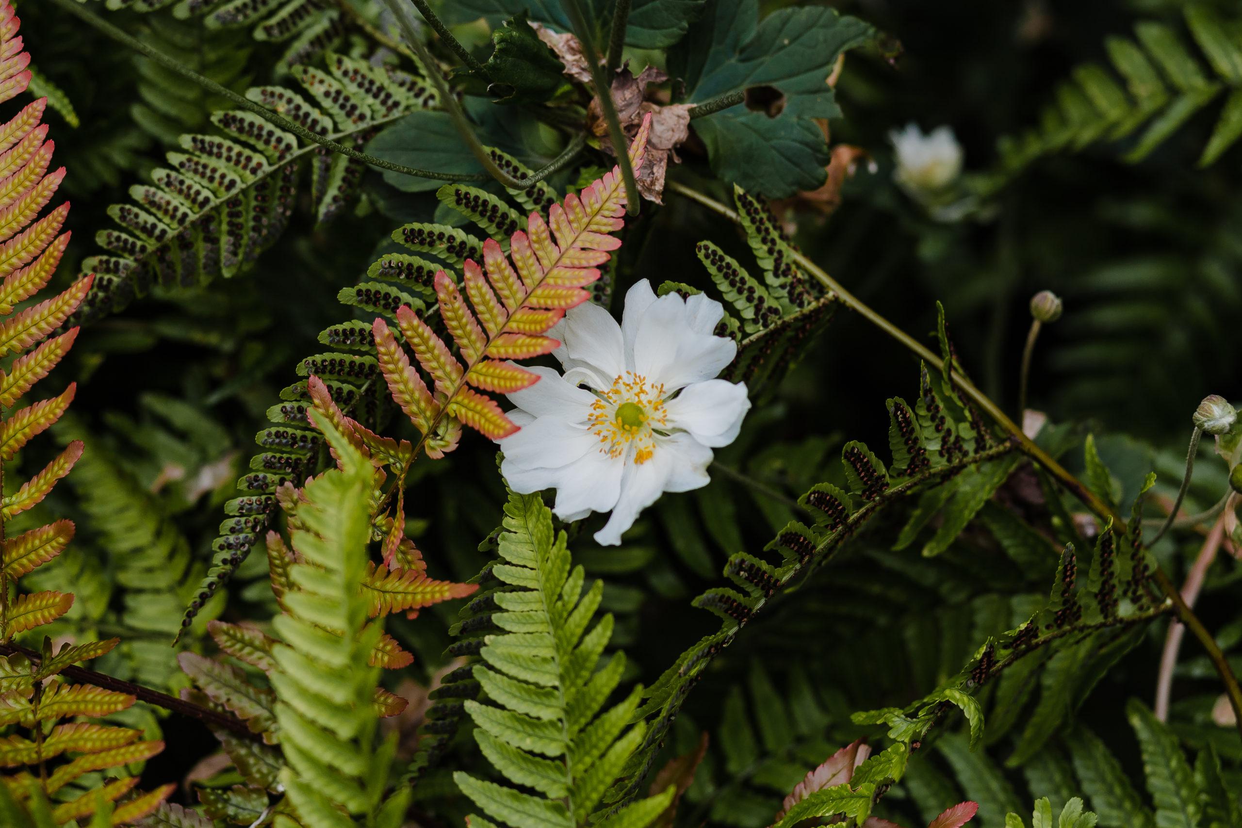 Anemone in Scotland